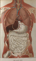 Chromolithograph illustration of the chest and digestive system, with facility to fold out sections