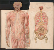Fold-out chromolithograph illustrating an anatomical model of the male body