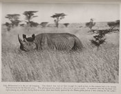 Photograph showing a rhinoceros of the Masai charging in the long grass