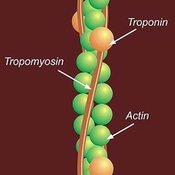 Structure of actin