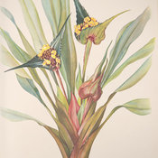 Colour lithographic plate of one of the aquatic plants from the Brazilian forest painted by Margaret Mee.