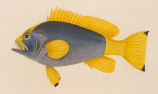 Hand-coloured plate showing a brightly coloured yellow fish
