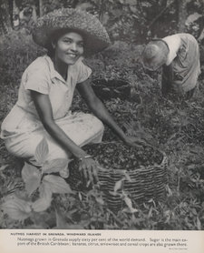 Photograph of a woman gathering nutmeg in a basket at the harvest in Grenada, Windward Islands