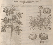 Woodcut illustration of the potato