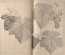 Double-page illustration of various types of grapes: the claret, the July and blackcurrant, with leaves also shown