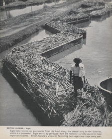 Photograph showing sugar cane being transported on a punt train, with a worker also present