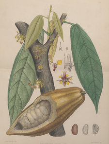 The constituent parts of the cocoa or chocolate tree, including its fruit, leaves and branches