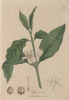 The coffea Arabica plant, with leaves, flowers and fruit shown