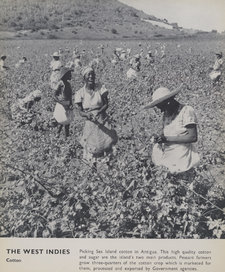 A group of women workers picking sea island cotton in Antigua