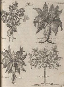 Illustrations of Peruvian bark, the male and female mandrake and the cork tree