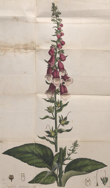 Fold-out plate showing a common purple foxglove