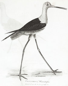 Engraved plate showing a bird identified by Gilbert White as a stilt plover