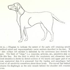 Spinal and vagosympathetic nerve sections on a dog, from Charles Scott Sherrington's The integrative action of the nervous system. London: Archibald Constable, 1906 [KCSMD Historical Collection QP372 SHE]