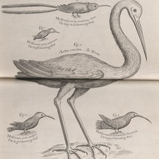 Engraving of the little blue heron