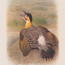 Coloured illustration of a woodpecker seated on a mound, with its wings partially outstretched.