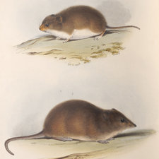 Colour plate showing side on views of two species of mouse.